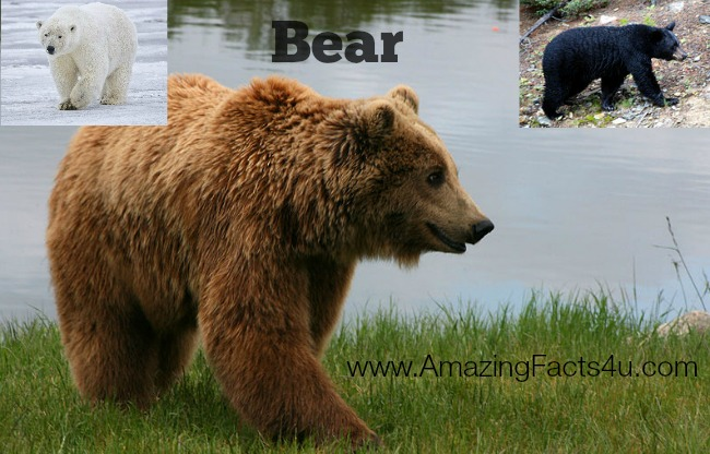 Bear Amazing Facts 4u
