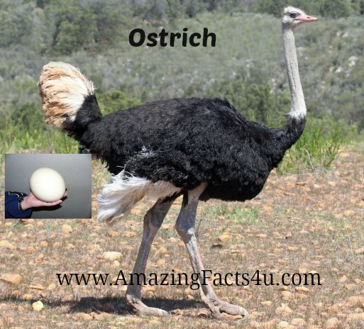 Ostrich Amazing Facts 4u