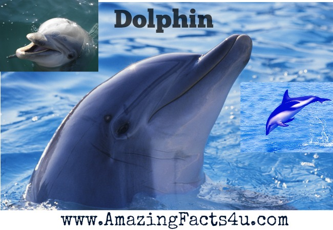 Dolphin Amazing Facts 4u