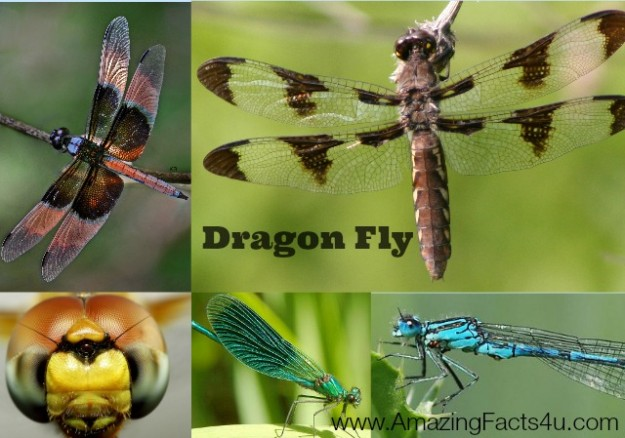 Dragon Fly Amazing Facts 4u