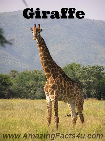 Giraffe Amazing Facts 4u
