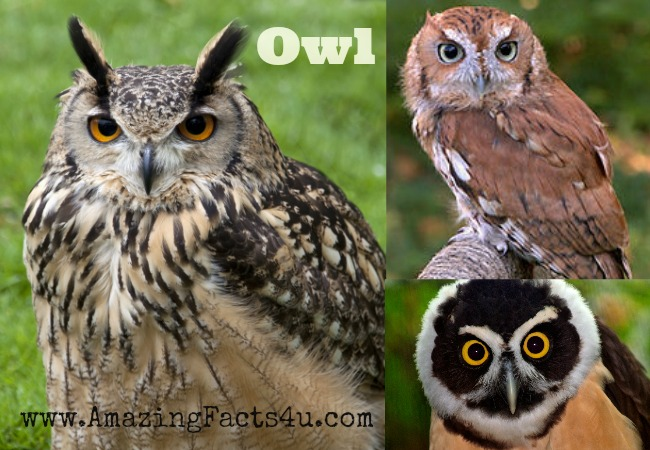 Owl Amazing Facts 4u