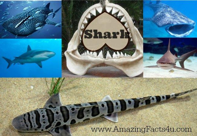 Shark Amazing Facts 4u