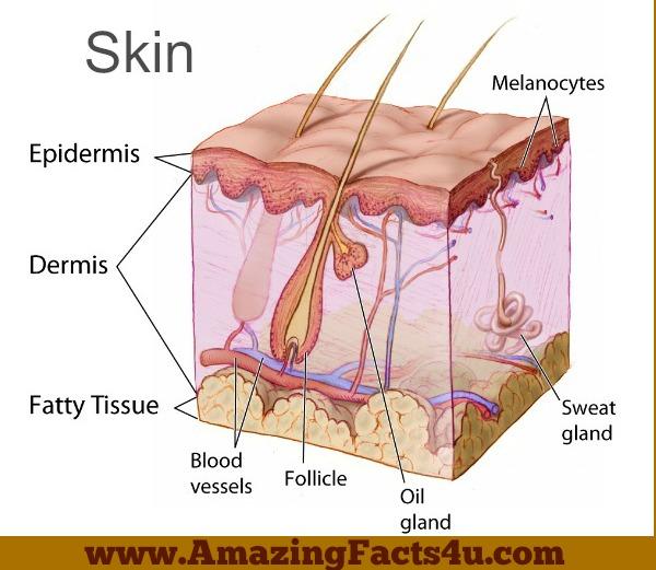 Skin Amazing Facts 4u