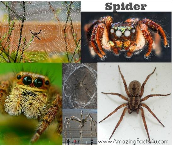Spider Amazing Facts 4u