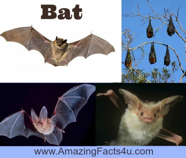 Bat Amazing Facts 4u