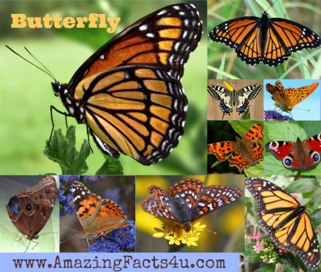 Butterfly Amazing Facts 4u