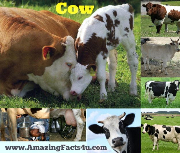 Cow Amazing Facts 4u