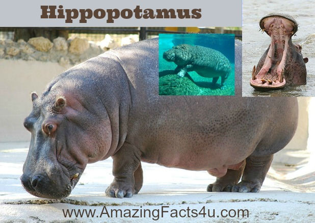 Hippopotamus Amazing Facts 4u
