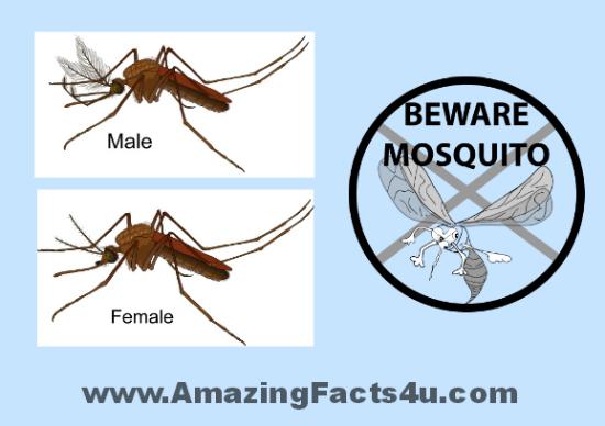 Mosquito Amazing Facts 4u