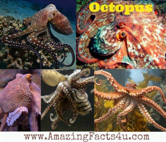 Octopus Amazing Facts 4u
