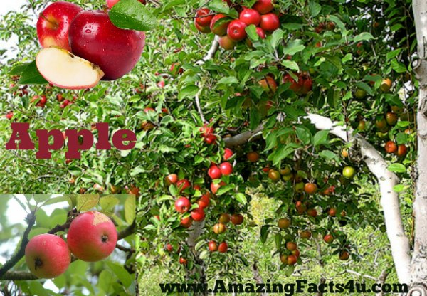 Apple Amazing Facts 4u