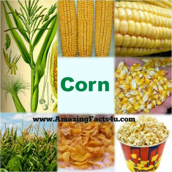 Corn Amazing Facts 4u