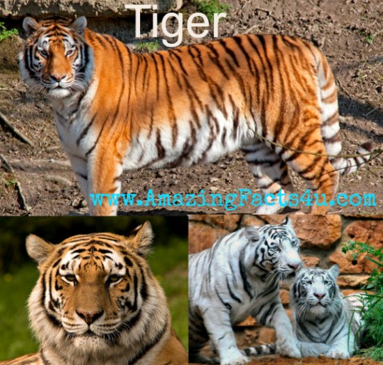 Tiger Amazing Facts 4u