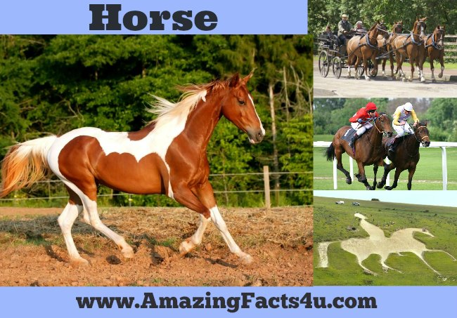 Horse Amazing Facts 4u