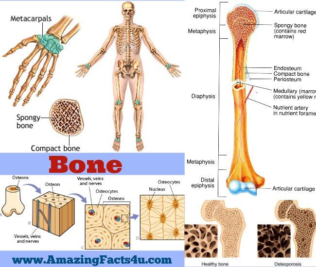 Bone Amazing Facts 4u