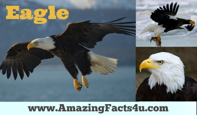 Eagle Amazing Facts 4u