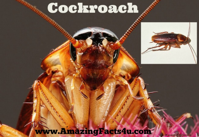 Cockroach Amazing Facts 4u