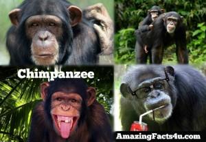 Chimpanzee Amazing facts
