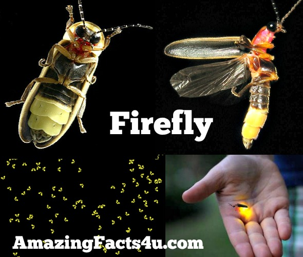 Firefly Amazing Facts