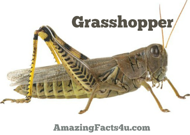 Grasshopper Amazing facts