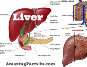 Liver Amazing Facts