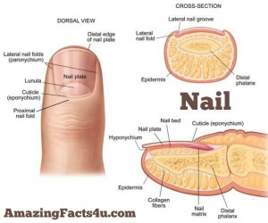 Nail Amazing Facts