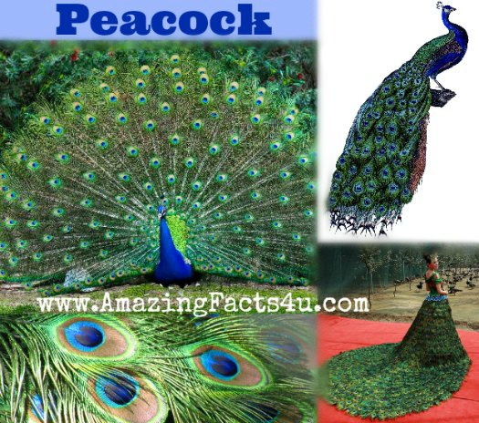 Peacock Amazing Facts