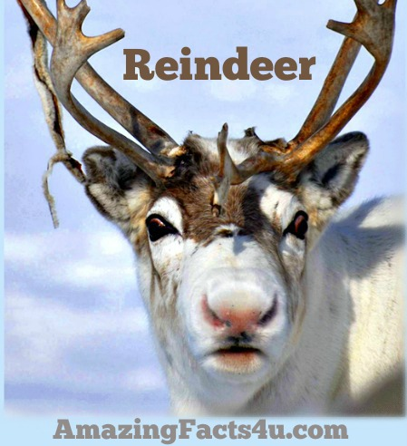 Reindeer Amazing Facts