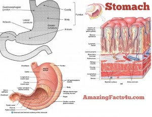 Stomach Amazing facts