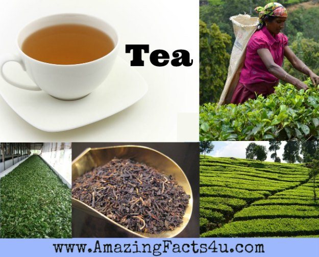 Tea Amazing Facts