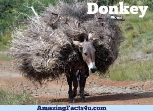 Donkey Amazing facts