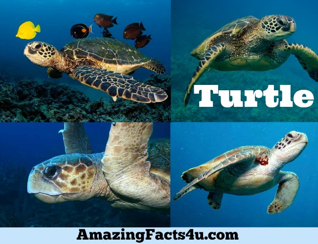 Turtle Amazing Facts