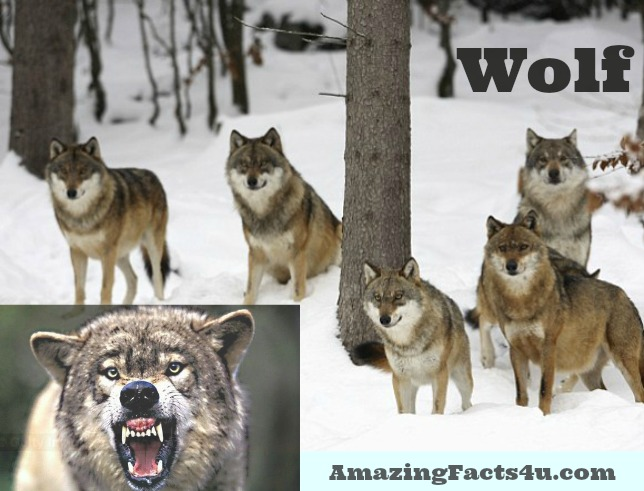 Wolf Amazing Facts