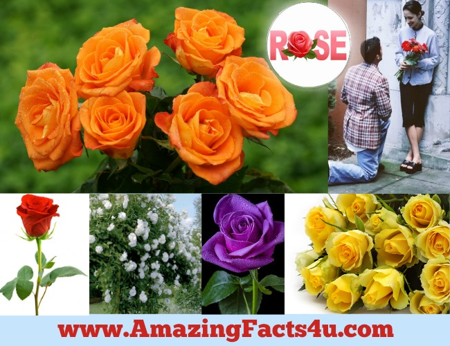 Amazing Facts Rose