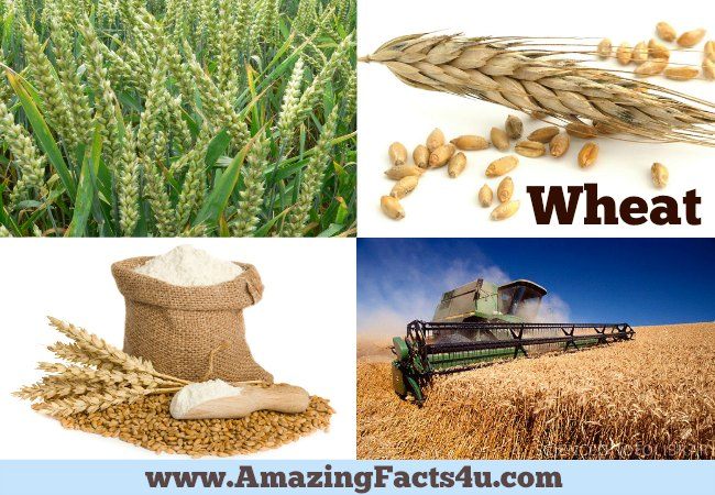 Amazing Facts Wheat